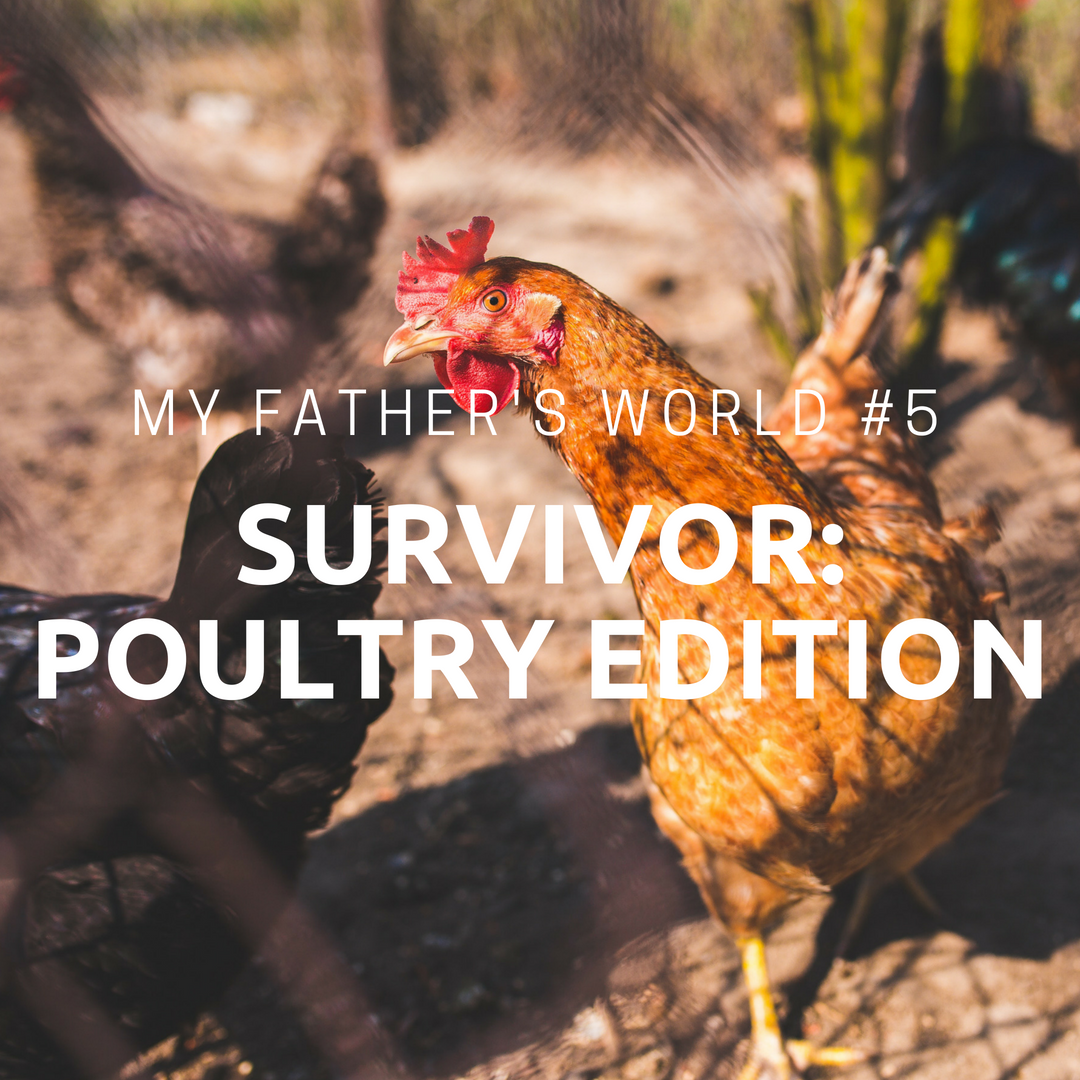 Survivor: Poultry Edition   My Father's World